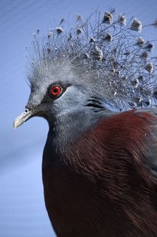 Victoria Crowned Pigeon Royalty Free Stock Image