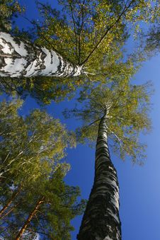 Free Stand Of Aspen Trees Looking Up Royalty Free Stock Images - 8127569