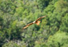 Free Red Kite Royalty Free Stock Photos - 8127798