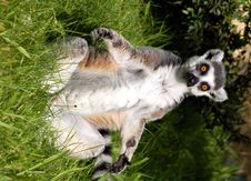 Free Monkey Ring-tailed Lemur, Lemur Catta Stock Photo - 8128070