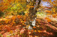 Free Autumn Tree Stock Images - 8129164