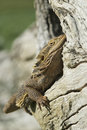 Free Bearded Dragon In Log Hollow Royalty Free Stock Photography - 8132447