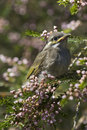Free Baby Bird Sitting In Flowering Tree Stock Photos - 8132883