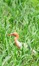 Free White Egret Royalty Free Stock Photo - 8133205