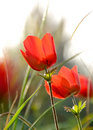 Free Red Anemones Stock Images - 8133754