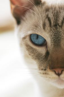 Free Cat S Blue Eye With White Background Royalty Free Stock Photos - 8130808