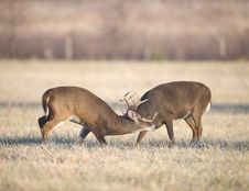 Free Two Bucks Fighting Stock Images - 8131194