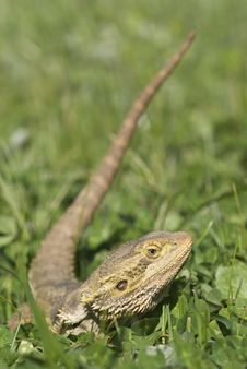 Free Bearded Dragon In Grass Royalty Free Stock Photos - 8132398