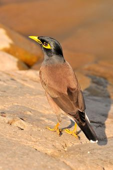 Myna Stock Photography