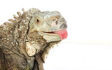 Free Iguana Royalty Free Stock Image - 8132626