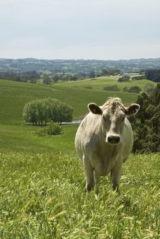 Free Cow Standing In Field Stock Photo - 8132660