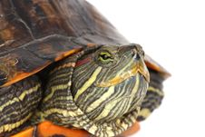 Free Turtle Head Royalty Free Stock Images - 8132679