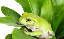Free Green Tree Frog Stock Image - 8132721