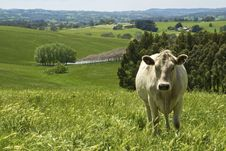 Free Cow Standing In Field Stock Images - 8132724