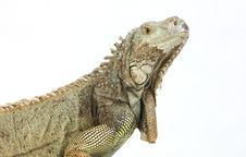 Free Iguana Stock Photography - 8132752