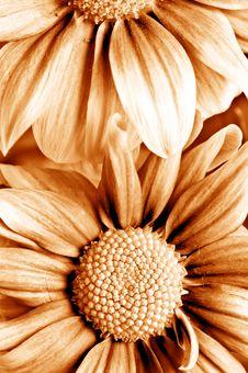 Free Beautiful Daisy Gerbera Stock Photography - 8133092