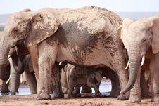 Free Large Muddy Elephant Stock Photography - 8133582
