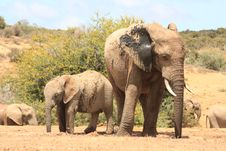 Free Elephant And Calf Royalty Free Stock Photography - 8134257
