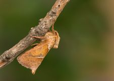 Free A Moth Royalty Free Stock Photography - 8134487