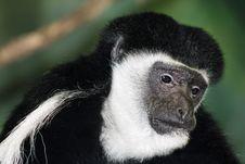Free Black And White Colobus Monkey Royalty Free Stock Image - 8134686