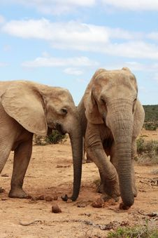 Free Two Elephant Cows Royalty Free Stock Image - 8134806