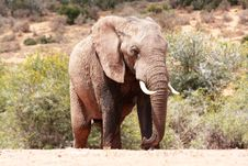 Free One Bull Elephant Stock Photos - 8134953