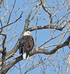 Free Bald Eagle Royalty Free Stock Image - 8135246