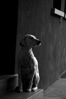 Free Dalmatian Dog - Black And White Stock Photography - 8136752