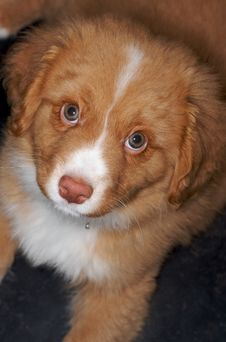 Free Nova Scotia Duck Toller Puppy Stock Images - 8138314