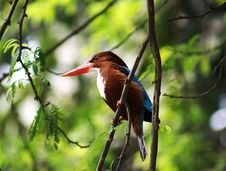 Free Kingfisher Royalty Free Stock Images - 8139069