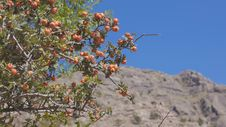 The Bush Of Hawthorn Mountains In The Background. Crimea. Zelenogorie Stock Photo