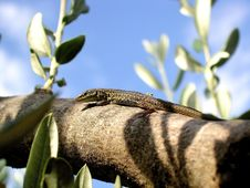 Free Green Lizard Royalty Free Stock Photography - 8140467
