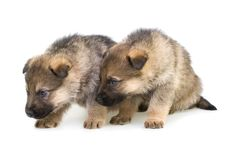 Free Sheep-dogs Puppys Isolated On White Background Stock Image - 8142541