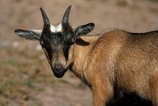 Goat Brown Royalty Free Stock Photos
