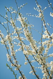 Free Spring Tree Royalty Free Stock Images - 8143469