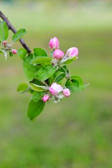 Free Apple Blooming Stock Photos - 8143943