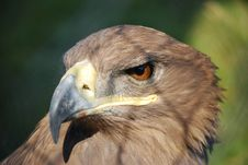 Free Hawk In Cage_1 Royalty Free Stock Image - 8144556