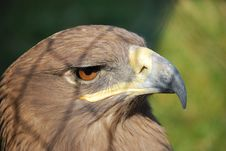 Free Hawk In Cage_2 Royalty Free Stock Images - 8144669
