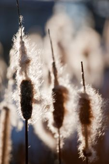 Free Cattails Stock Photography - 8147072