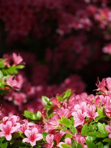 Free Pink Flowers Stock Images - 8147104