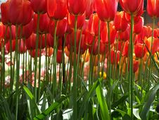 Free Huge Red Tulips Stock Photo - 8147410
