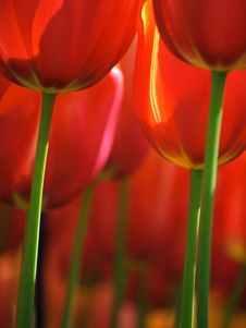Free Huge Red Tulips Royalty Free Stock Photos - 8147508