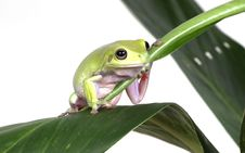 Free Green Tree Frog Stock Photography - 8148132