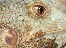 Free Iguana Royalty Free Stock Image - 8148266