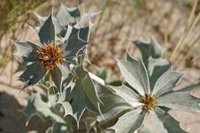 Free Sea Holly Flower Stock Image - 8149071