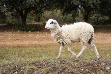 Free Lamb Stock Photos - 8149483