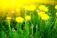 Free Yellow Dandelions Stock Images - 8149604