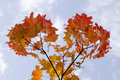 Free Maple Leaves On Sky Royalty Free Stock Photo - 8159755