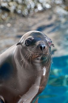 Free Sea Lion Royalty Free Stock Images - 8150179