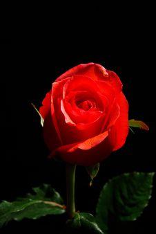 Free Rose Stock Image - 8151061